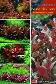 native aquarium plants 30 best fishy plants images on pinterest live aquarium plants