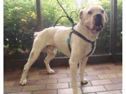 boxer dog rescue rescue dog of the week caine the boxer beverly hills ca patch