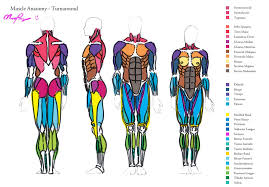 Anatomy Of Body Muscles Muscle Anatomy Turnaround By Heartgear On Deviantart