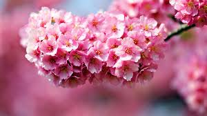 Meaning Of Pink Meaning Of Flowers Wallpaper