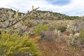 desert wildflowers and cactus in bloom in anza borrego desert