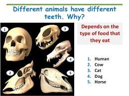 Dog Tooth Anatomy Teeth