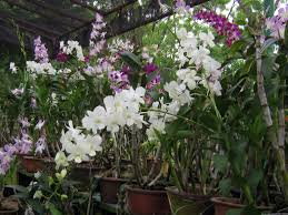 file orchid plants jpg wikimedia commons