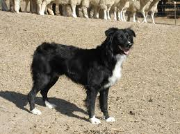 australian shepherd needs las rocosa australian shepherds