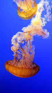 free stock photos of jellyfish pexels
