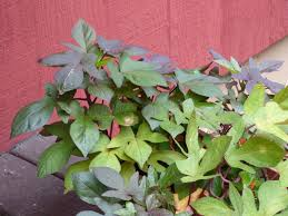 growing sweet potato vines care of ornamental sweet potato