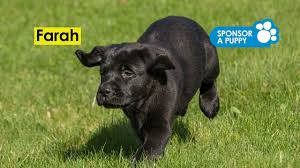 Sponsor A Puppy For The Blind Sponsor A Puppy Farah U0027s Puppy Gallery Guide Dogs