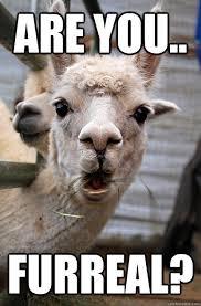 Suprised Meme - are you furreal surprised alpaca quickmeme