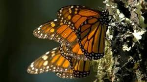 of monarch butterflies go here every winter