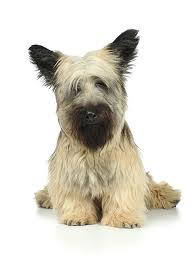 silky terrier with haircut skye terrier dog breed information pictures characteristics