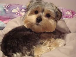 shorkie hair styles pictures on morkie haircuts styles shoulder length hairstyles