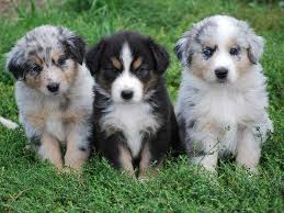 australian shepherd how much 20 australian shepherd puppies that are so adorable you might just