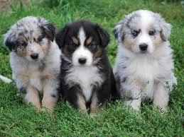 australian shepherd yoga video 20 australian shepherd puppies that are so adorable you might just