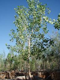Cottonwood Tree Flowers - 36 best tree lore images on pinterest pagan magic wands and