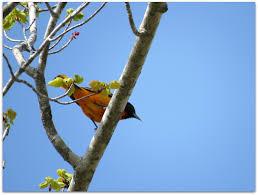 baltimore oriole u2013 amy u0027s birds