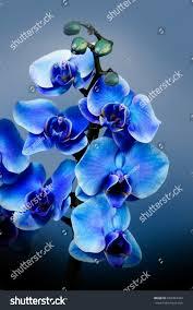 Beautiful Flowers Image Beautiful Flowers Garden Blue Orchid Phalaenopsis Stock Photo