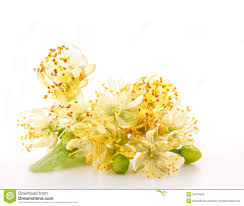 linden flower branch of linden flowers royalty free stock photo image 25376645