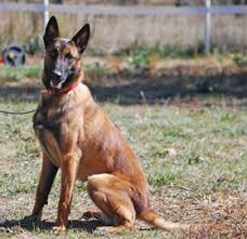 belgian shepherd dog for sale sold police dogs for sale belgian malinois k 9 police dogs