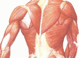 Human Anatomy Muscle 143 Best Skeletal Muscles Images On Pinterest Human Anatomy