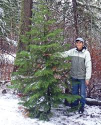 Cutting Christmas Tree - cut down your own tree for a fun family outing members