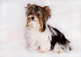 american eskimo dog dallas american eskimo dog toy puppies and dogs for sale in usa
