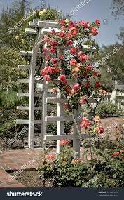 outdoor white garden trellis live roses stock photo 187491470