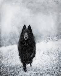 belgian sheepdog history wolf shadow photography dogs groenendael friends pinterest