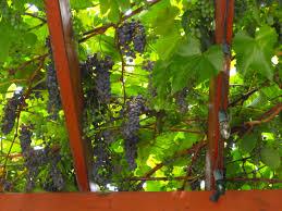 summer pruning grape vines