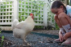 austin backyard chickens austin slaughter limits james mcwilliams com