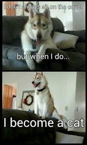 Funny Husky Memes - funny husky dog memes google search spitz dog pinterest