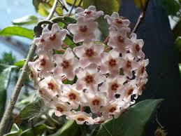 waxvine common waxflower hoya australis it is vine found on