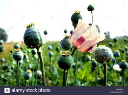 Opium Opium Papaver Poppy Seed Drugs Drug War Flower Stock Photo