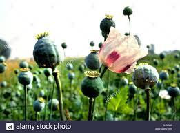 Opium by Opium Papaver Poppy Seed Drugs Drug War Flower Stock Photo