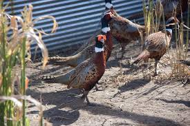 buy pheasant for sale in kansas kansas birds