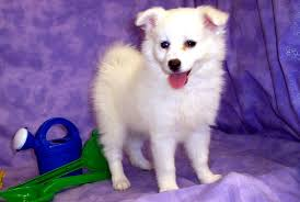 american eskimo dog varieties small white dog breeds pets dog breeds puppies five cute names