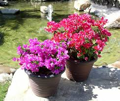 how to grow bougainvillea in a pot blog nurserylive com