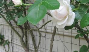 arresting rose vine tags climbing rose trellis 12x12 hardtop