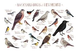 New Mexico birds images New mexico backyard birds field guide art print kate dolamore art jpg
