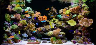 designing reef aquarims aquarium design group custom aquarium