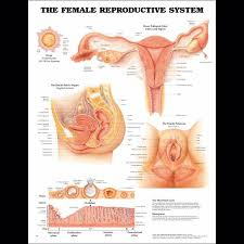 Female Anatomy Image Female Anatomy Charts Anatomy Posters And Anatomy Charts
