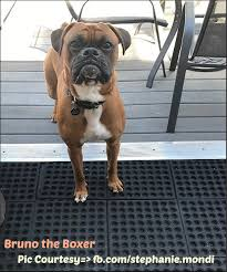 boxer dog training tips how much food should a boxer eat boxer dog info and health tips