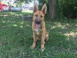 belgian sheepdog rescue trust facebook 2 dogs safe 1 dog missing after brick outbuilding destroyed by