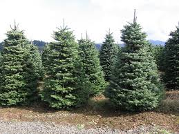 live christmas trees christmas trees going on sale throughout new hanover county
