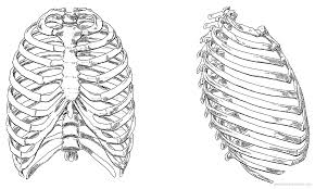 blueprints humans anatomy rib cage