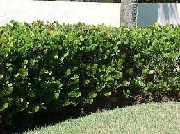 your south florida hedge plants alternatives list sold in common
