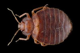 What Causes Bed Bugs To Come Out Bed Bug Madness The Psychological Toll Of The Blood Suckers The