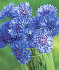 corn flower blue image result for cornflower blue cornflower blue aesthetic