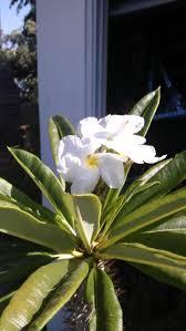madagascar native plants madagascar palm flower plants around my house pinterest