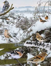 common garden birds free e book