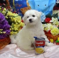 bichon frise dogs for adoption search locally for bichon frise puppies and dogs nearest you